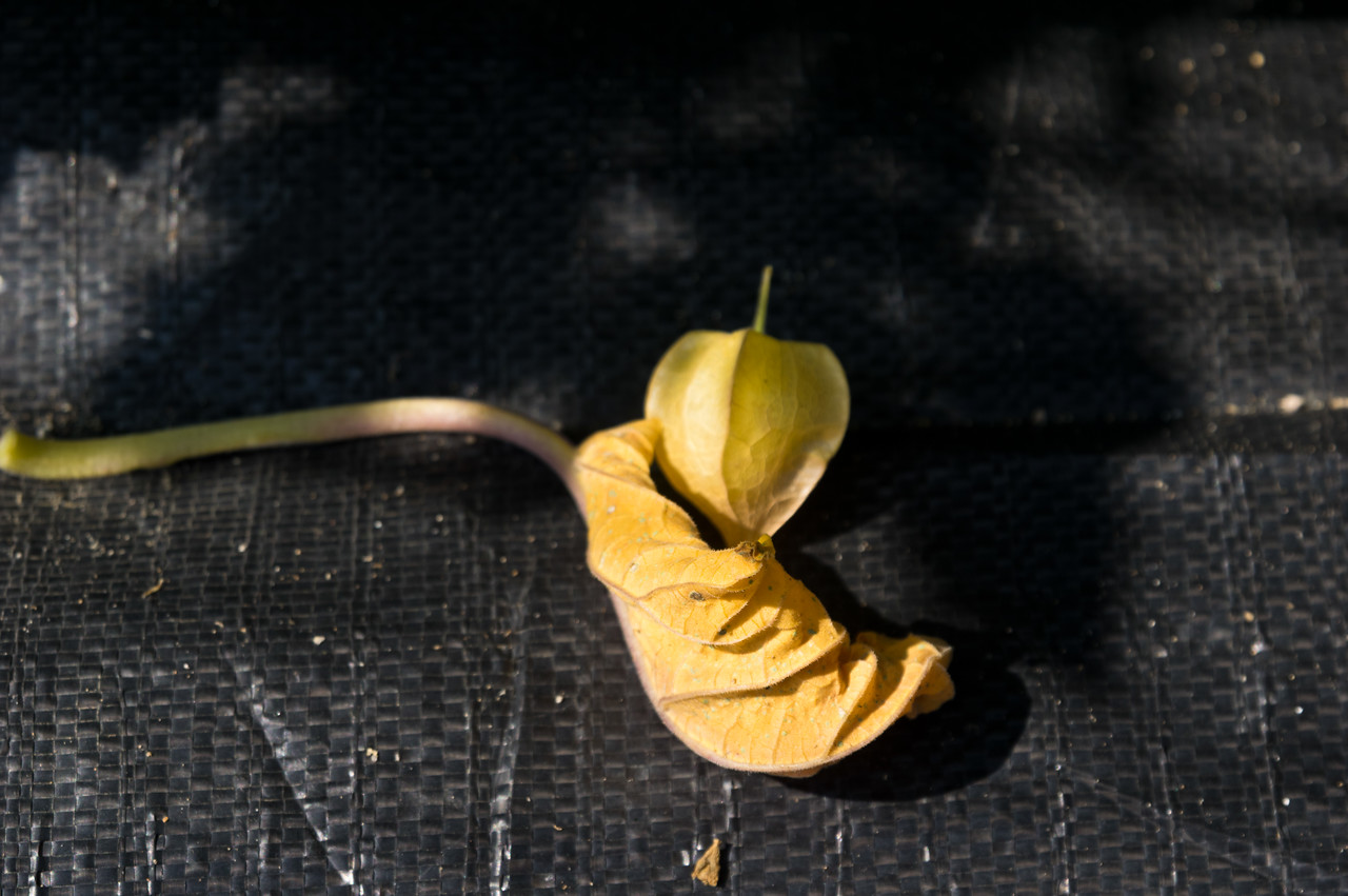 keep a look out for these treats soon… an early husk cherry fell off the plant, photo by Adam Ford