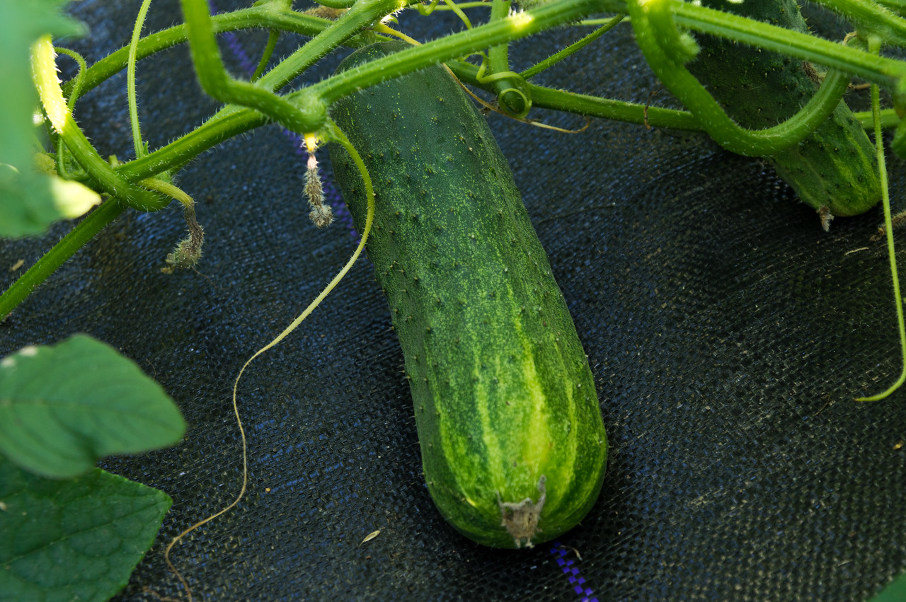 this year's pickling cukes are out of control! (in a good way), photo by Adam Ford)