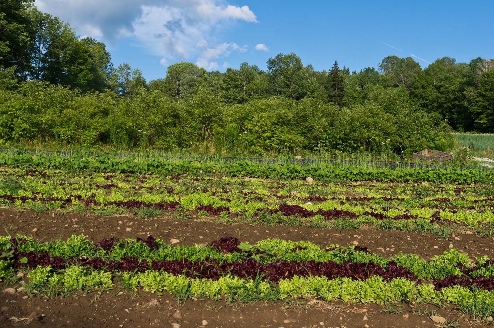several lettuce plantings below the elderberries, photo by Adam Ford