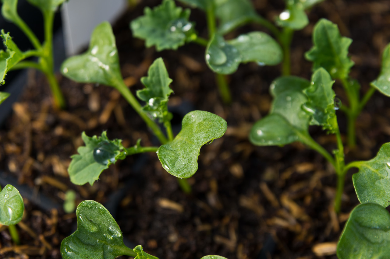 baby kale plants for winter harvest, photo by Adam Ford