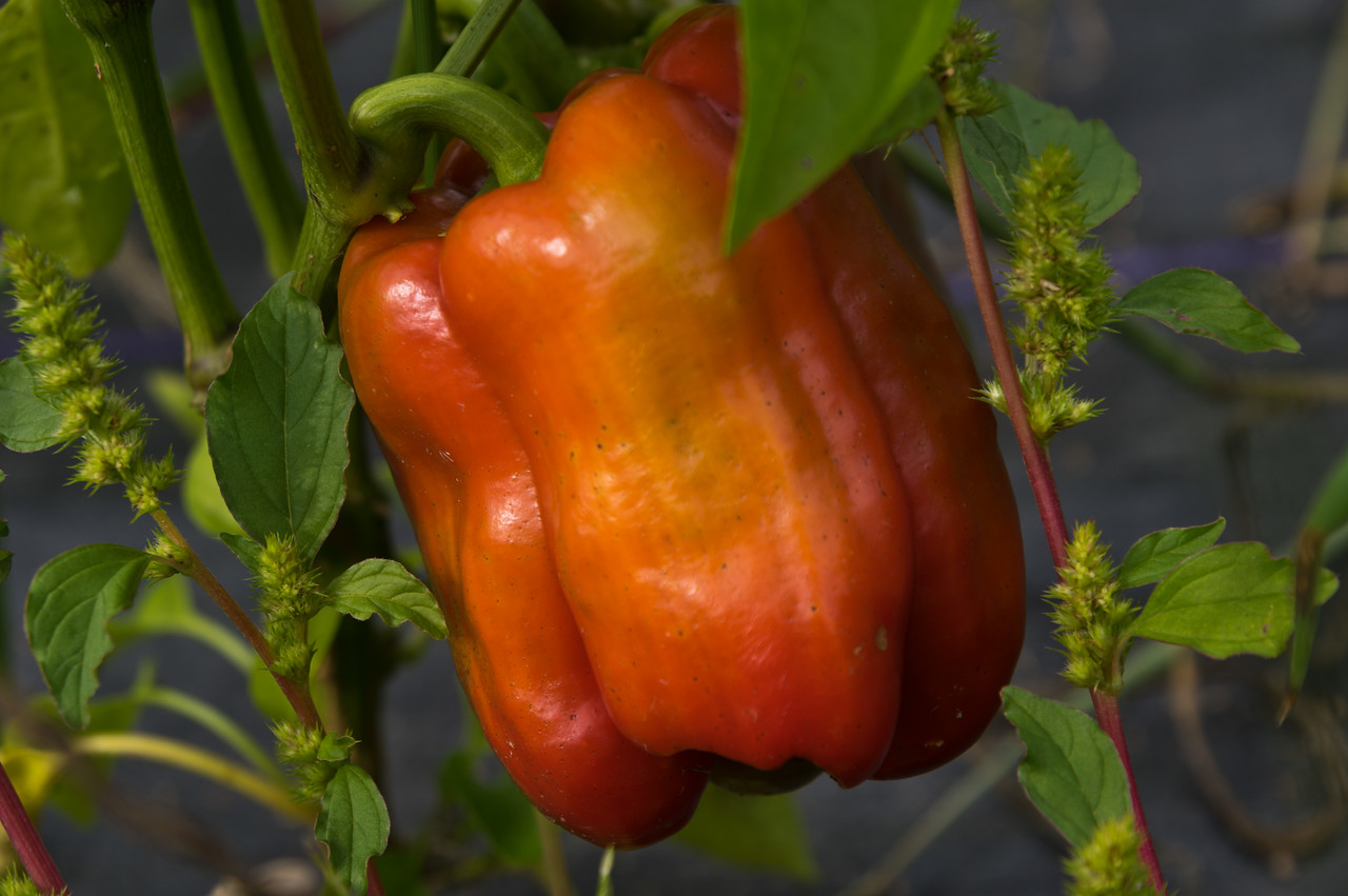 an elusive red pepper, photo by Adam Ford