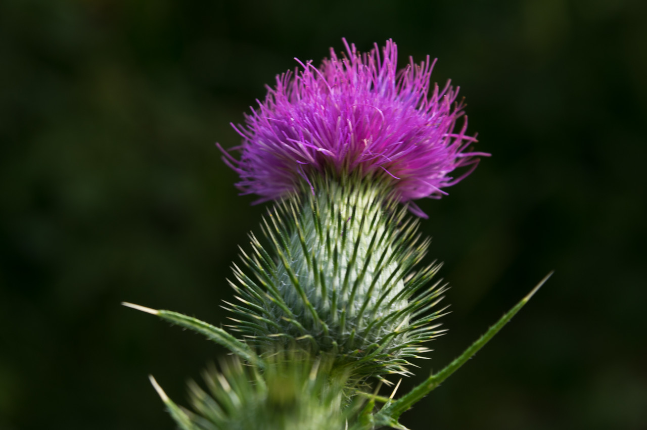 when a weed flower is this magnificent, I can't be that upset to have thistle in our fields, right?! photo by Adam Ford