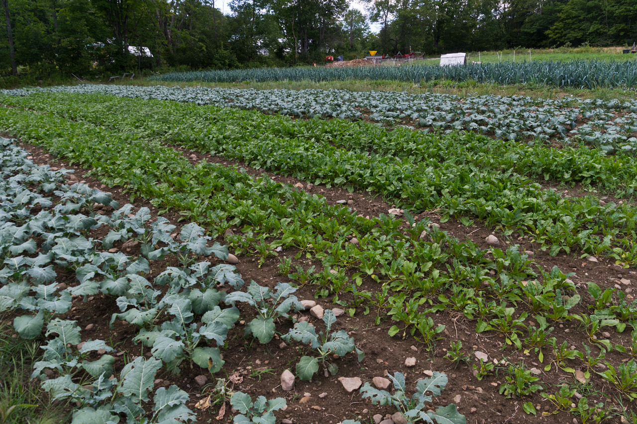 fall beets and broccoli growing in the field, photo by Adam Ford