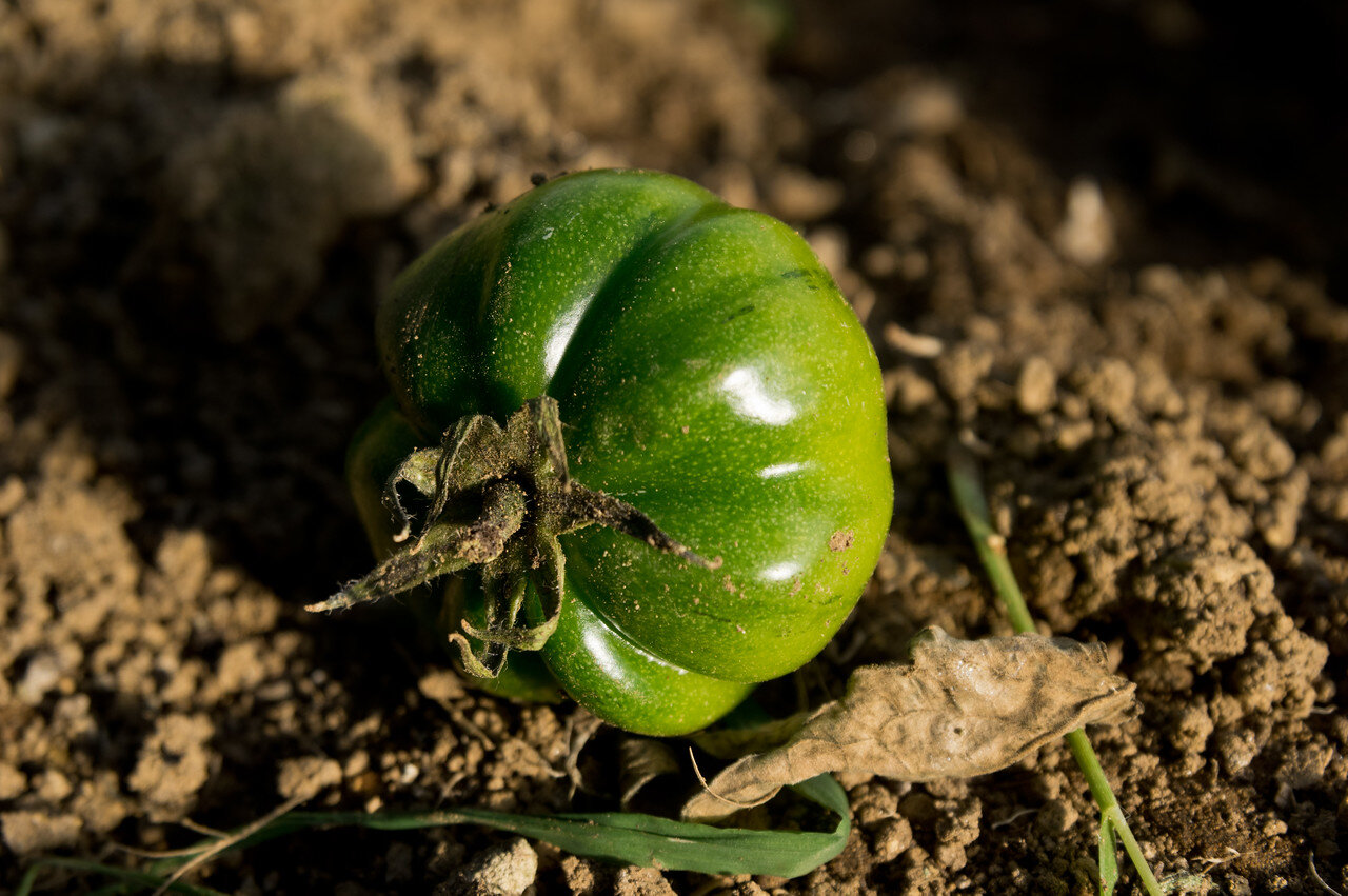 a lonely green tomato left behind after the tomato plants were ripped out of this bed, photo by Adam Ford