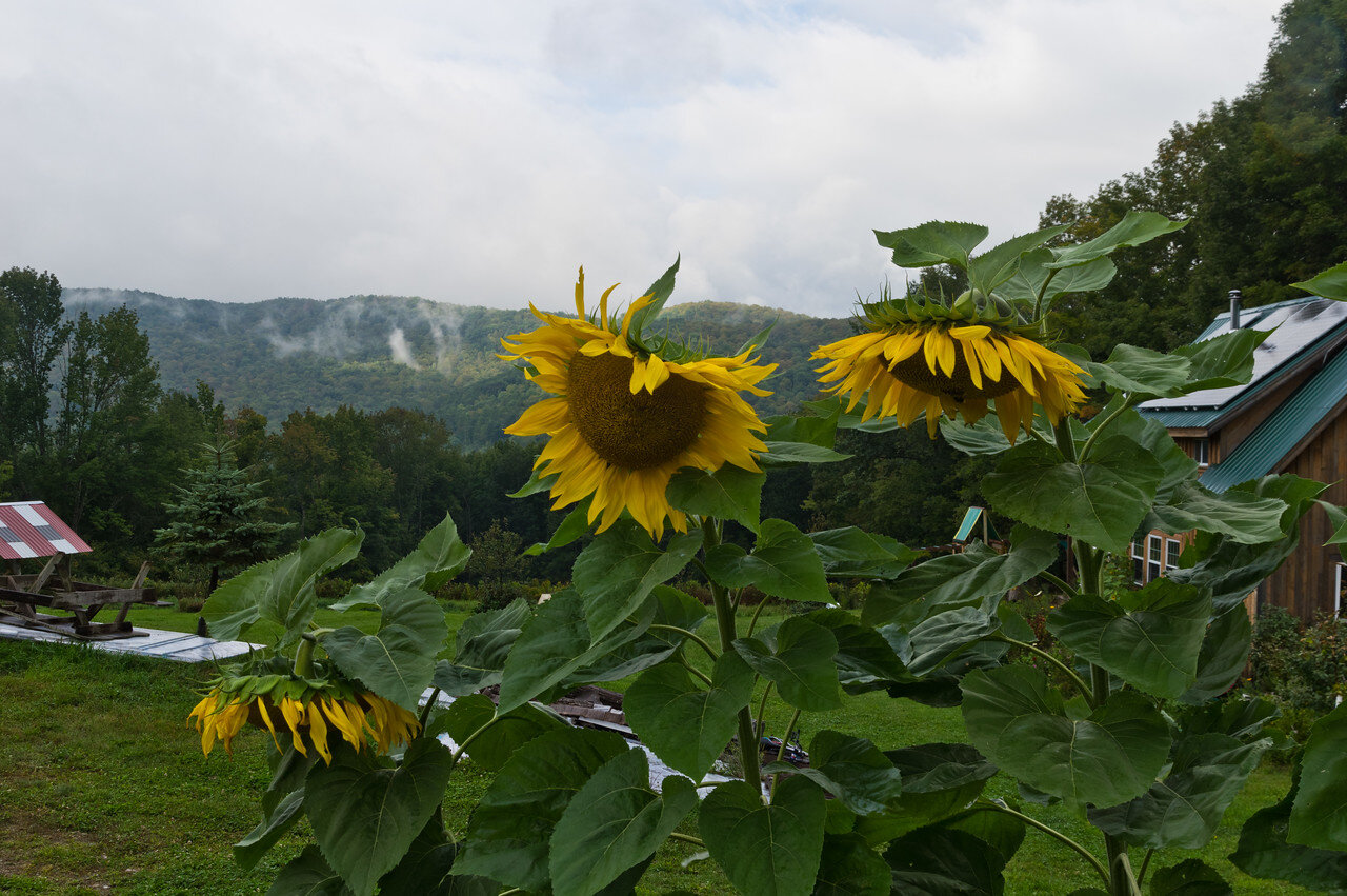 Ryan's wall of sunflowers, photo by Adam Ford