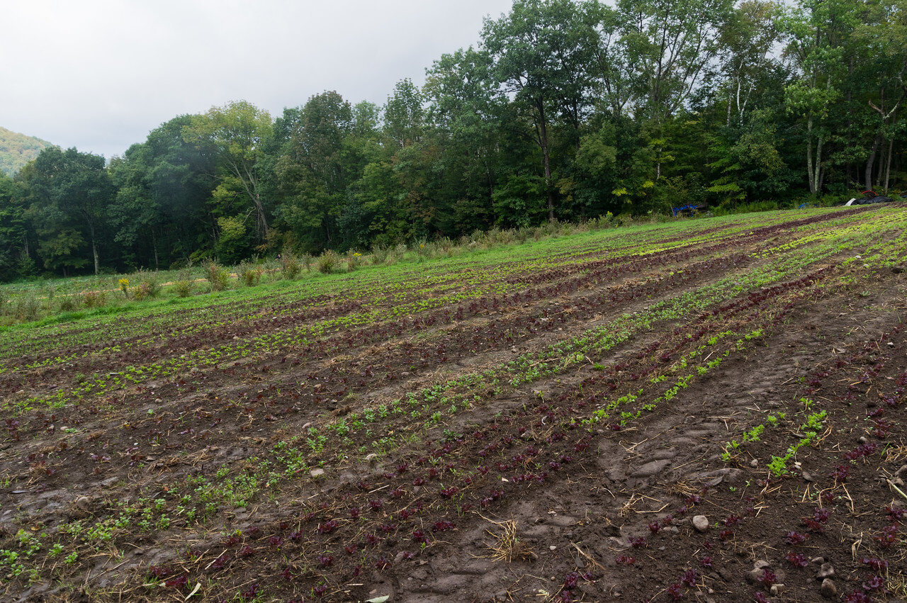 lettuce transplants growing for fall harvest, photo by Adam Ford