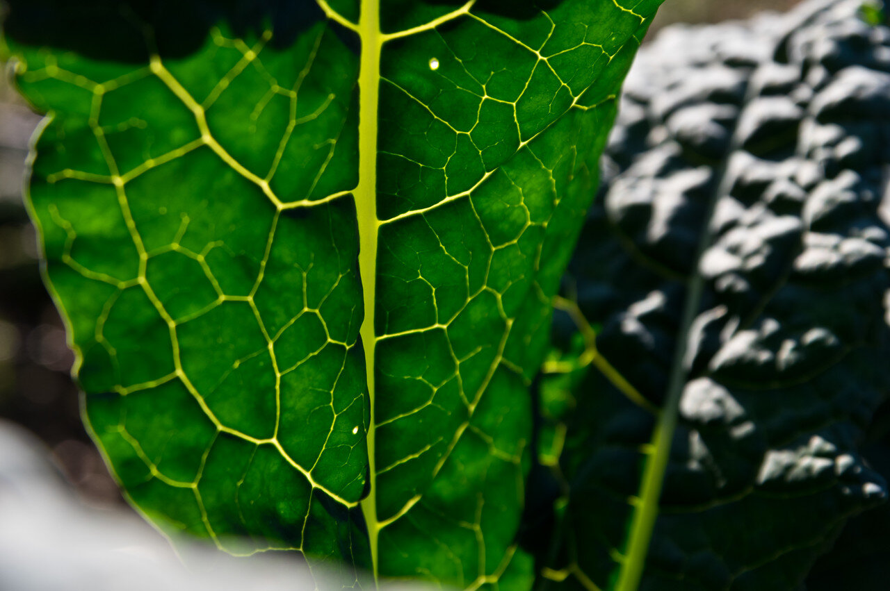 light through lacinato kale leaves, photo by Adam Ford