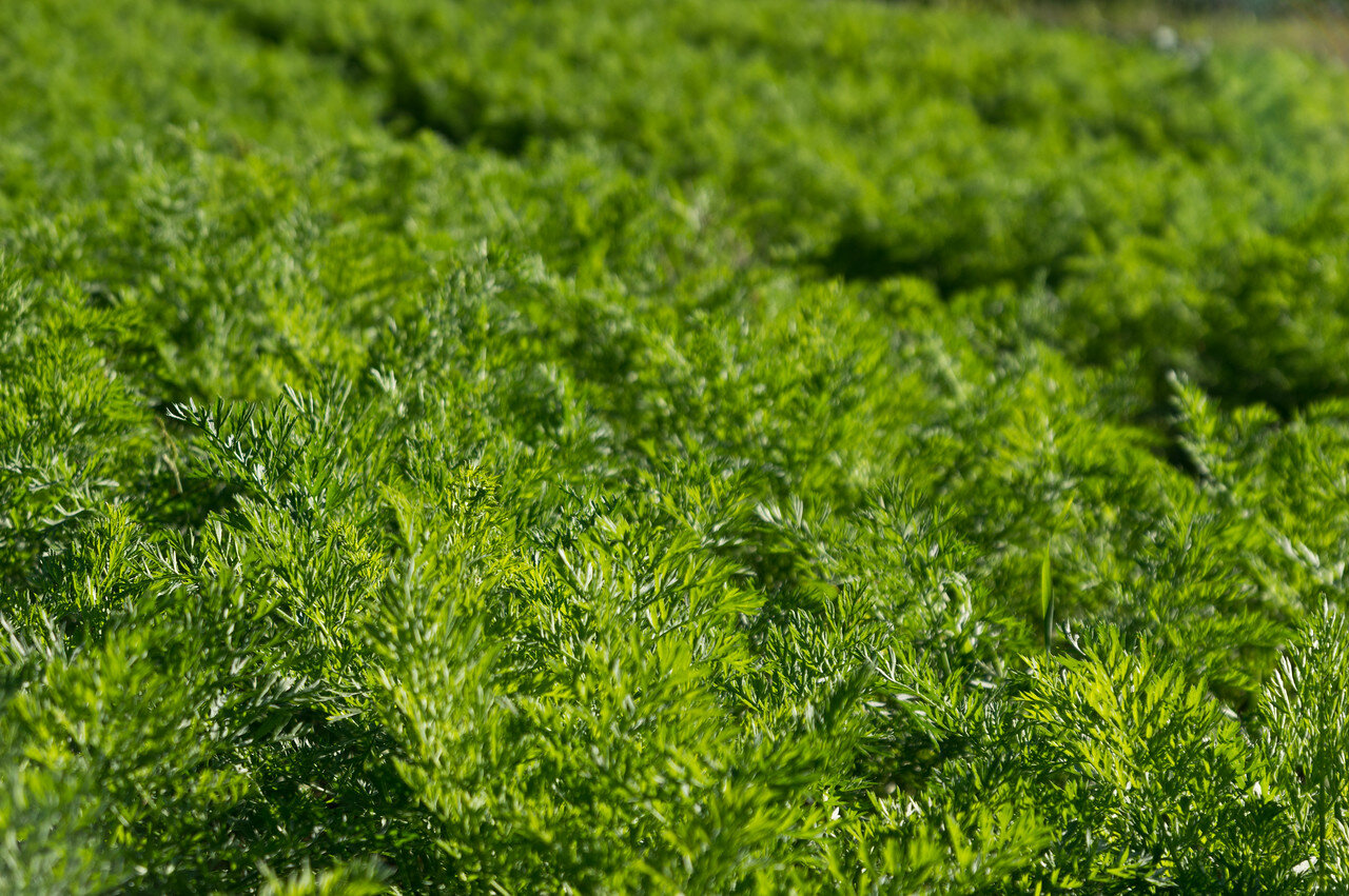 field of carrot tops, photo by Adam Ford