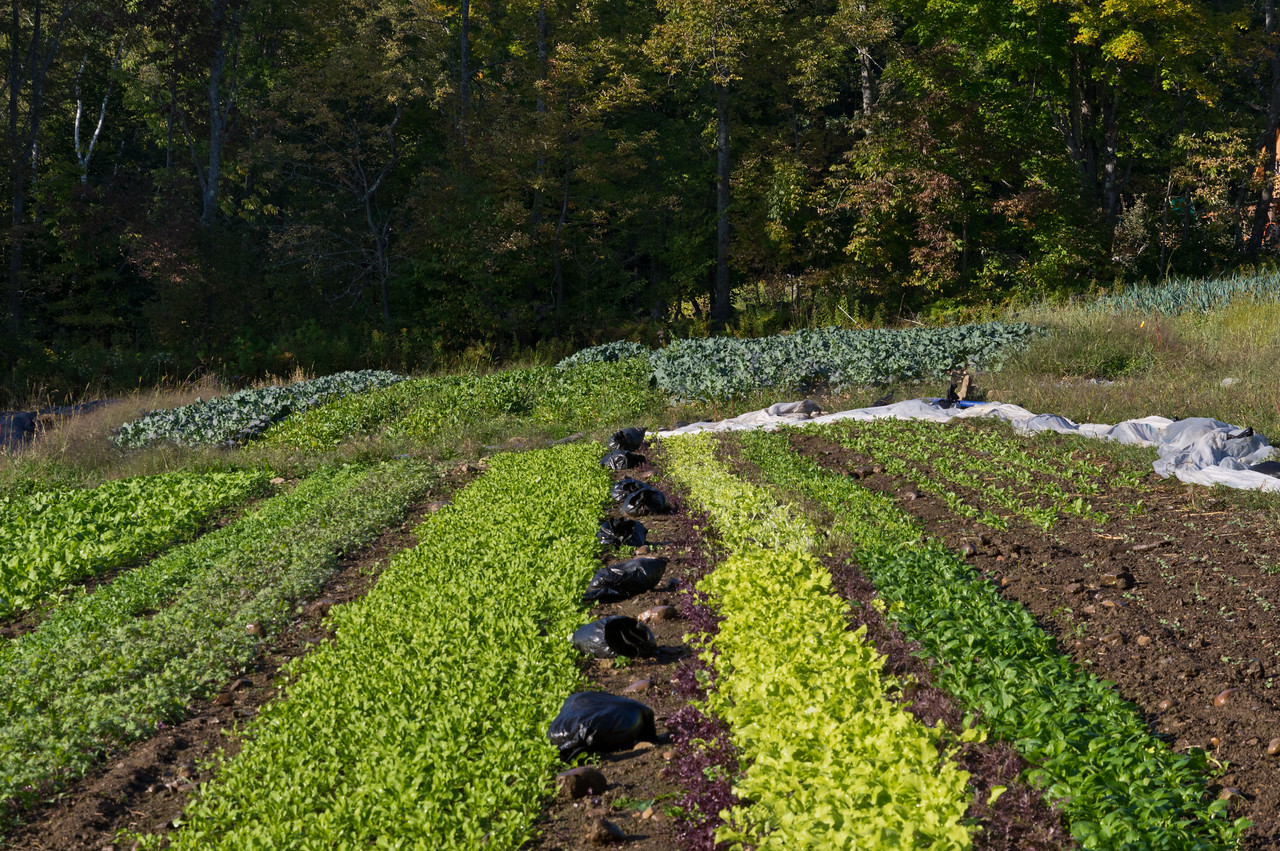 """fall salad greens looking good and pretty weed free… though this time of year the major """"weeds"""" we have to deal with are the foliage that falls from trees and into the gardens… pretty annoying, trees… can't you drop your leaves somewhere besides our gardens? photo by Adam Ford"""