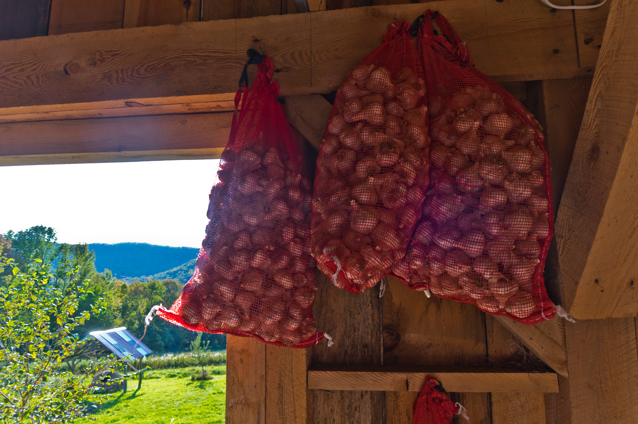our seed garlic patiently waiting to be put in the ground, photo by Adam Ford