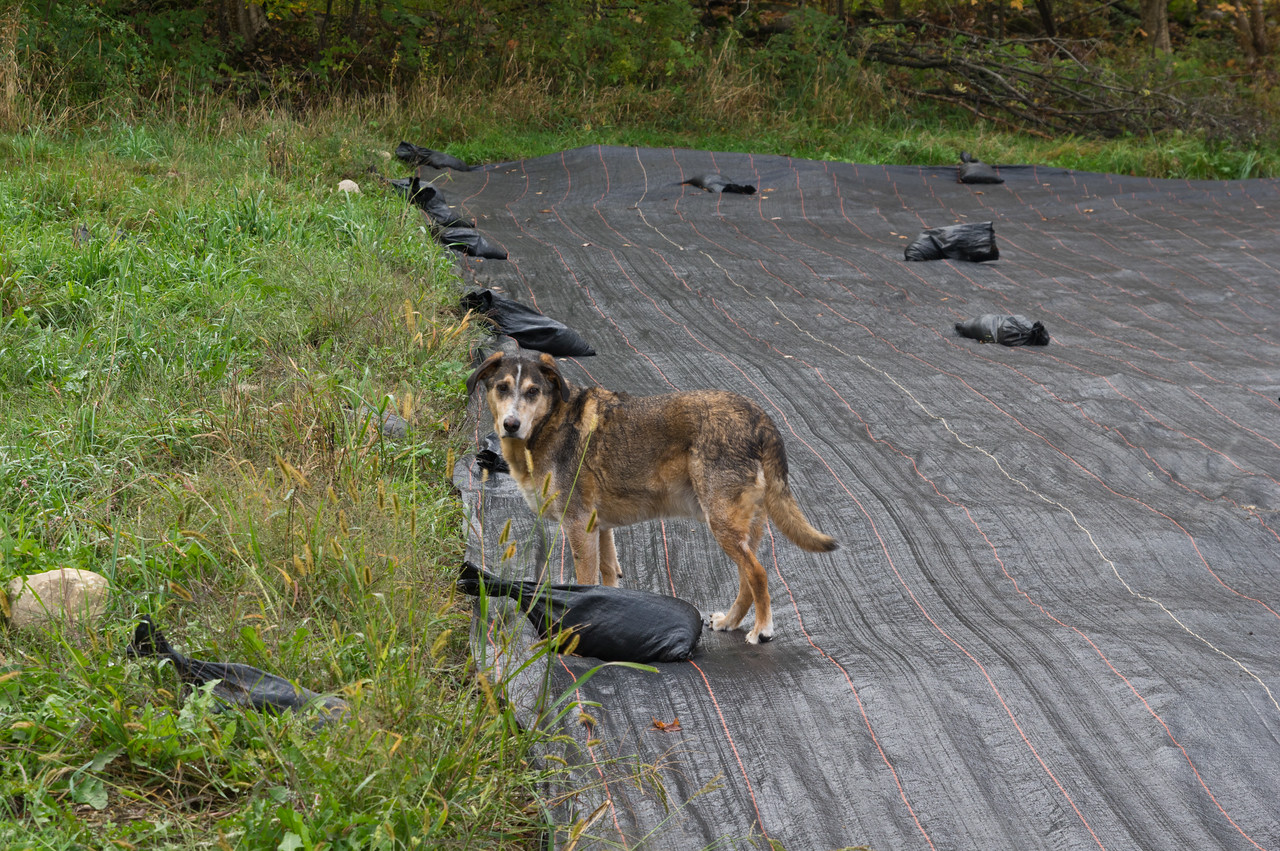 We love how well these tarps suppress weeds and protect soil from erosion in between plantings, but they are a nice place for voles to hide and take up residence… Echo is working hard keeping those numbers down, what a great dog! photo by Adam Ford