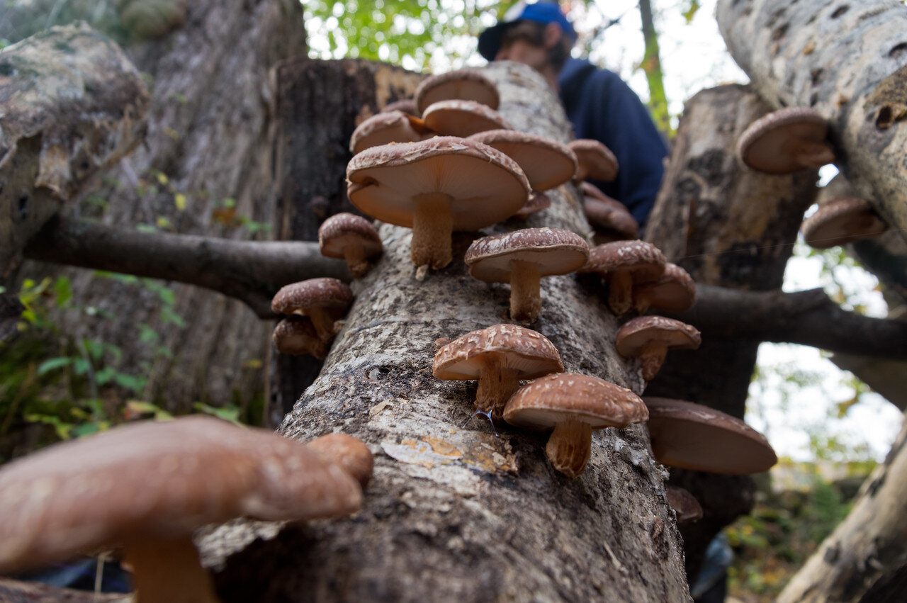 our shiitake production was really lackluster this year, we were pretty disappointed with some logs who have seemed to stopped producing well earlier than we expected… we are considering phasing them out since they are so much work, photo by Adam Ford