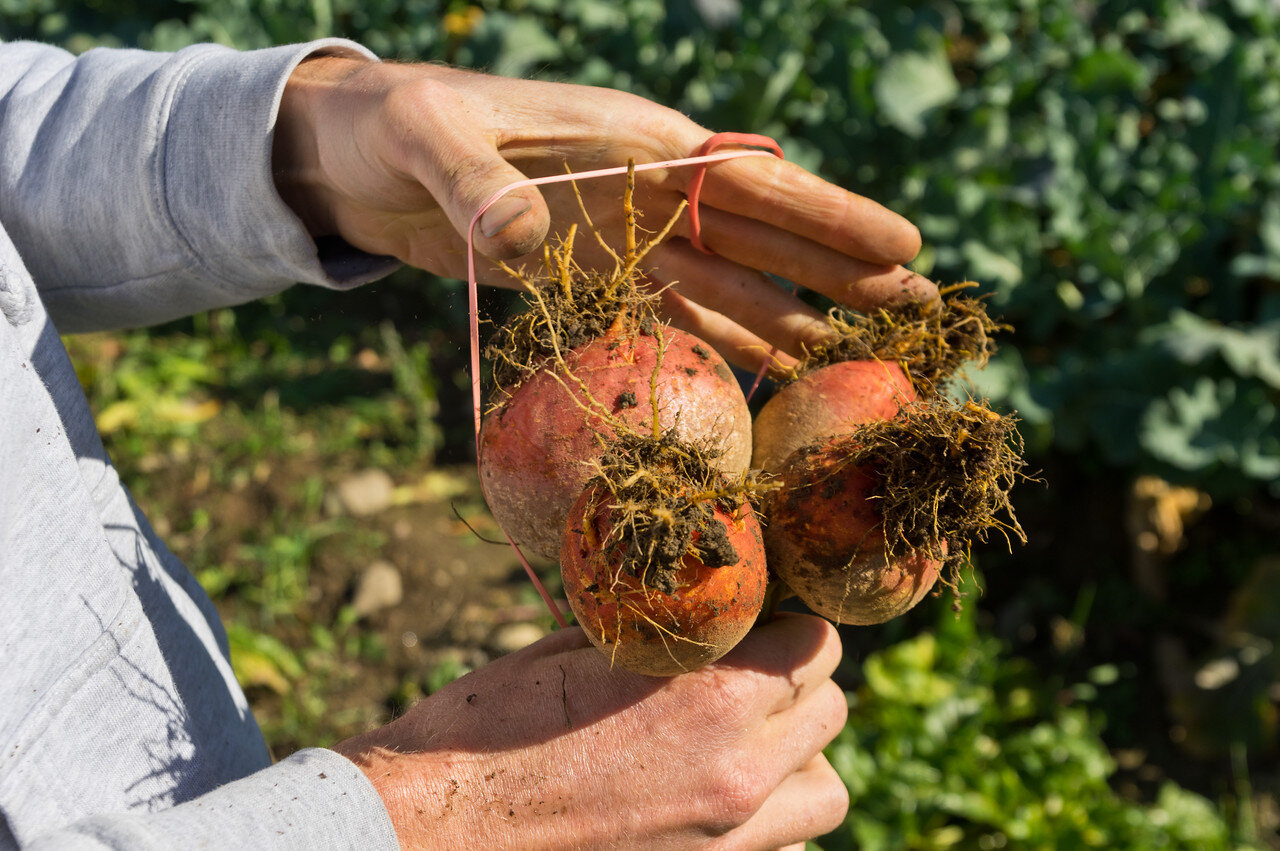 bunching golden beets in the field, photo by Adam Ford