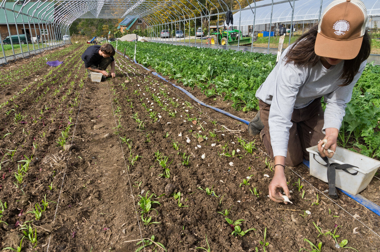 Sam and Grace planting scallion sets in between winter spinach.. this is one of the ways we maximize indoor growing spaces. These scallions will be harvested as the spinach comes to maturity, we will clear the scallions out in the early spring and continue to harvest spinach, photo by Adam Ford