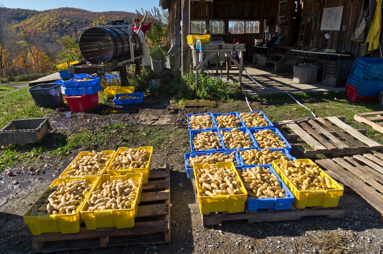 Fingerlings are washed and drying for storage, photo by Adam Ford