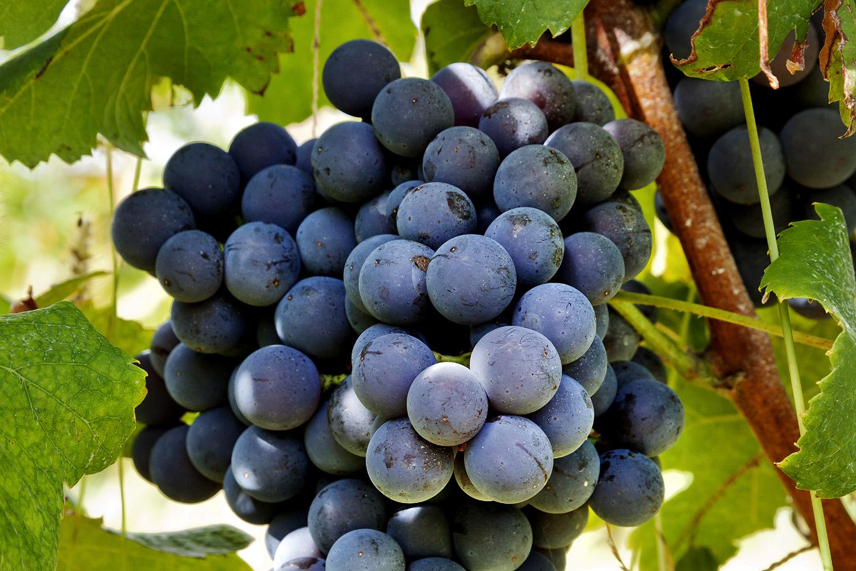 Vineyard1b.jpg