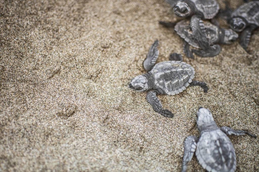 34-baby-turtles-release-_-troncones-_-lovalinda-photography.jpg.1024x0.jpg