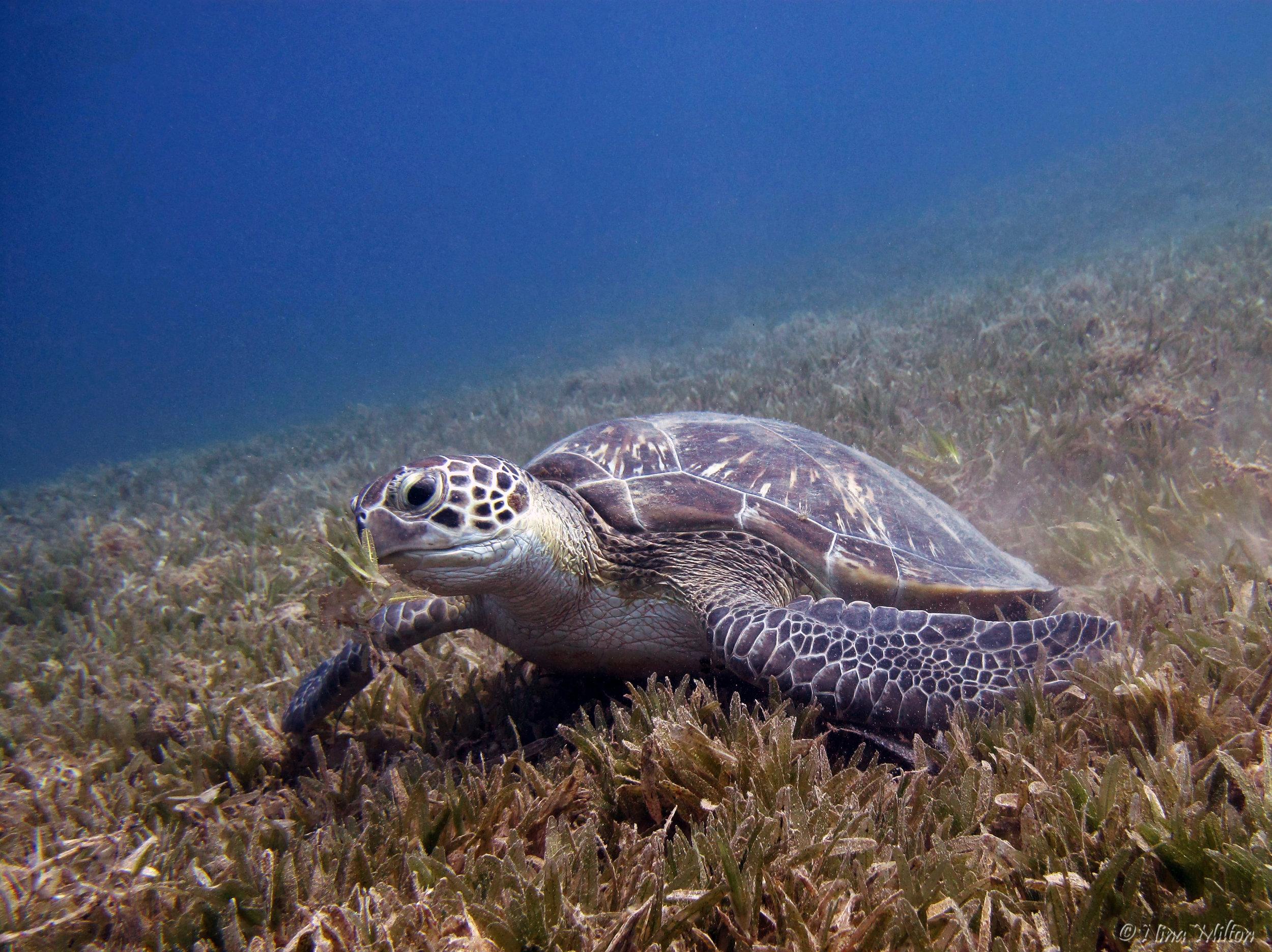 Dahab_diving_Red Sea_Egypt_Sinai_Nabq_Turtle.JPG