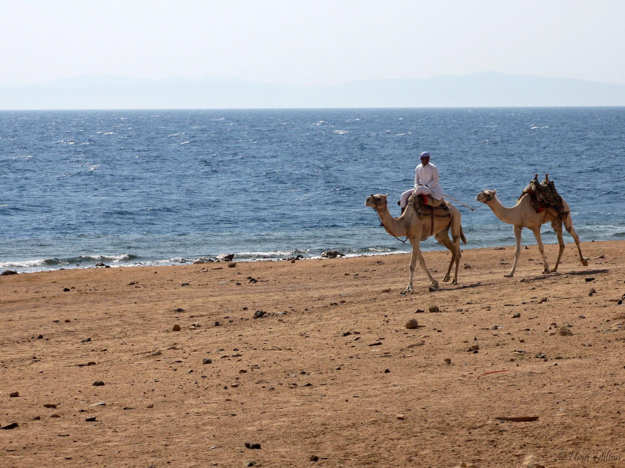 Dahab_trips_excursions_Red Sea_Egypt_Sinai_camel.jpg
