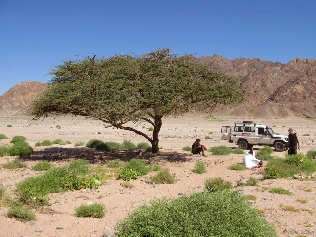 Dahab_trips_excursions_Red Sea_Egypt_Sinai_Nabq_Acacia.JPG