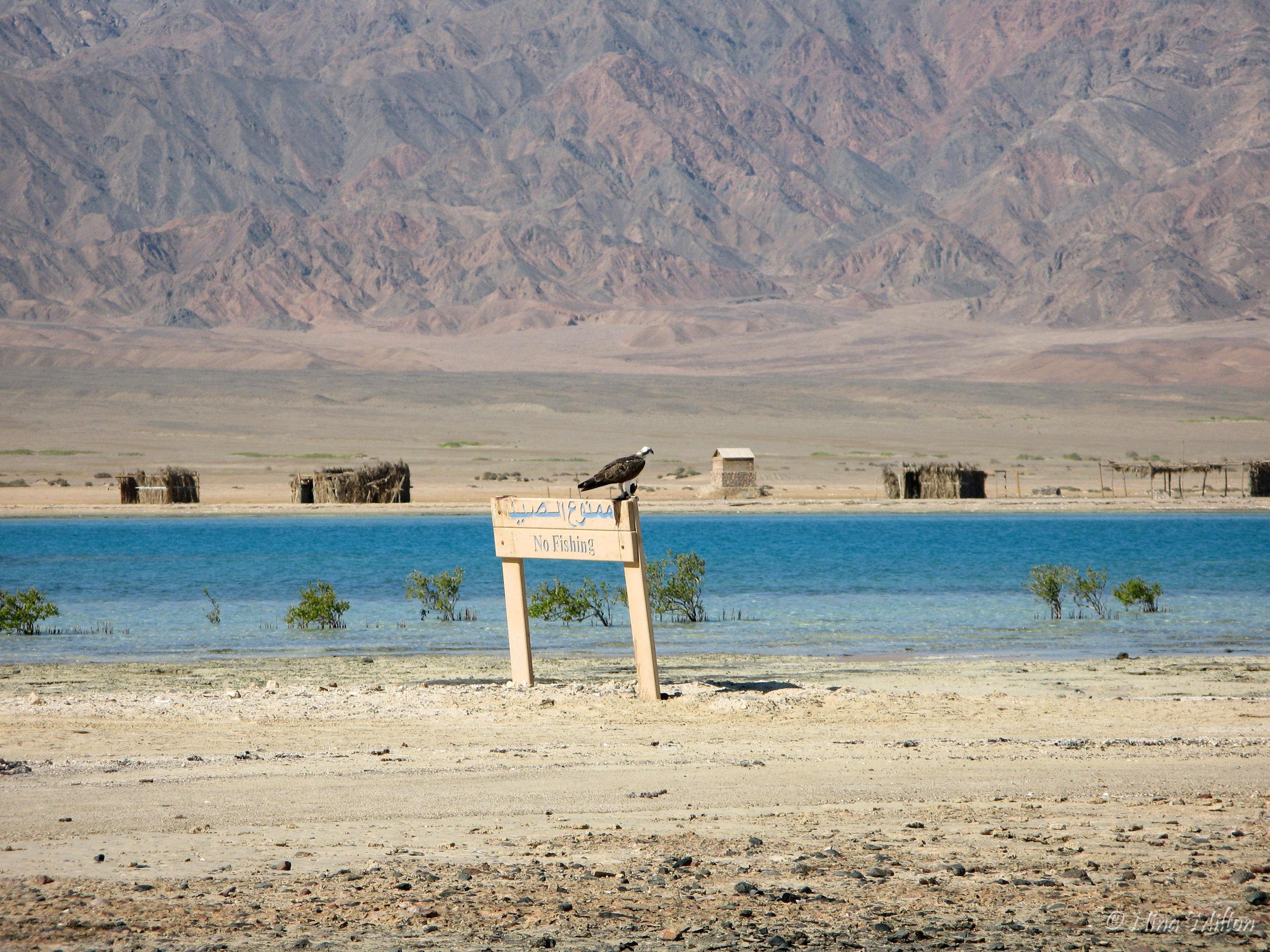 Dahab_trips_excursions_Red Sea_Egypt_Sinai_Nabq_Osprey.JPG