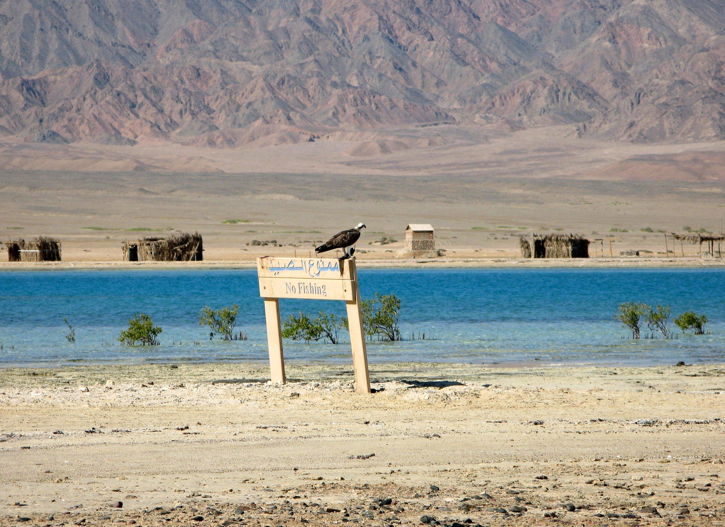 Dahab_trips_excursions_Red Sea_Egypt_Sinai_Nabq_Osprey - Kopi.JPG