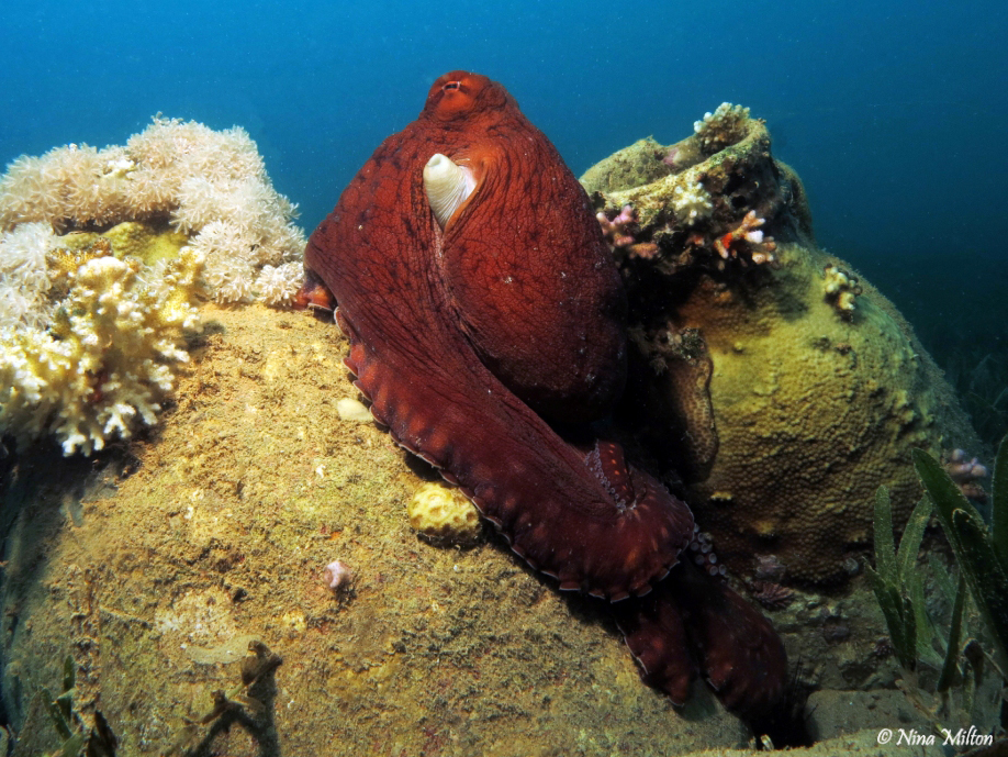 Dahab_Coachhouse_Red Sea_Sinai_Egypt_Octopus.JPG