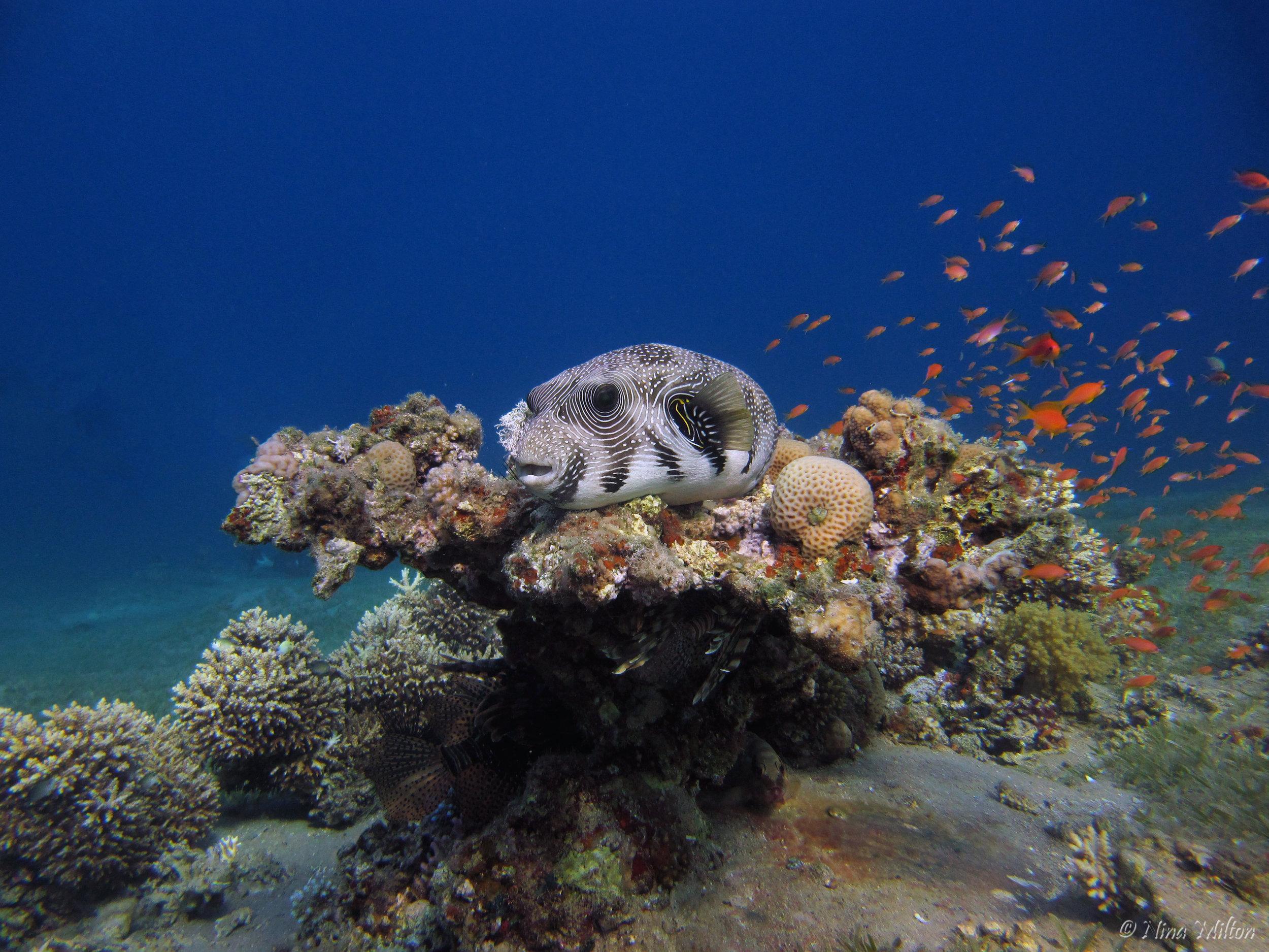 Dahab_diving_Red Sea_Egypt_Sinai_fish_3.JPG
