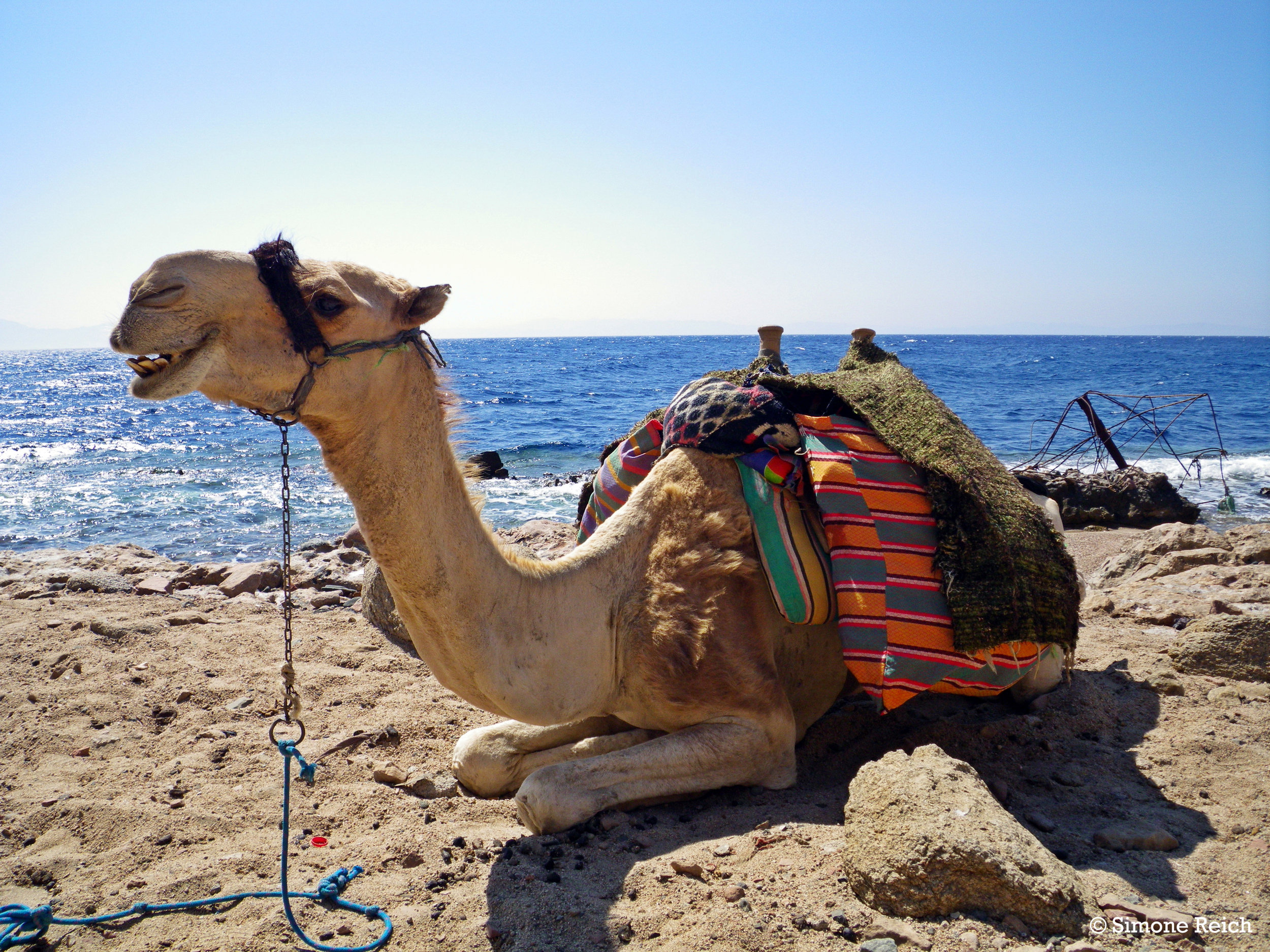 #Dahab#Coachhouse#Egypt#Sinai#Lagoon#Red#Sea#Camel.JPG
