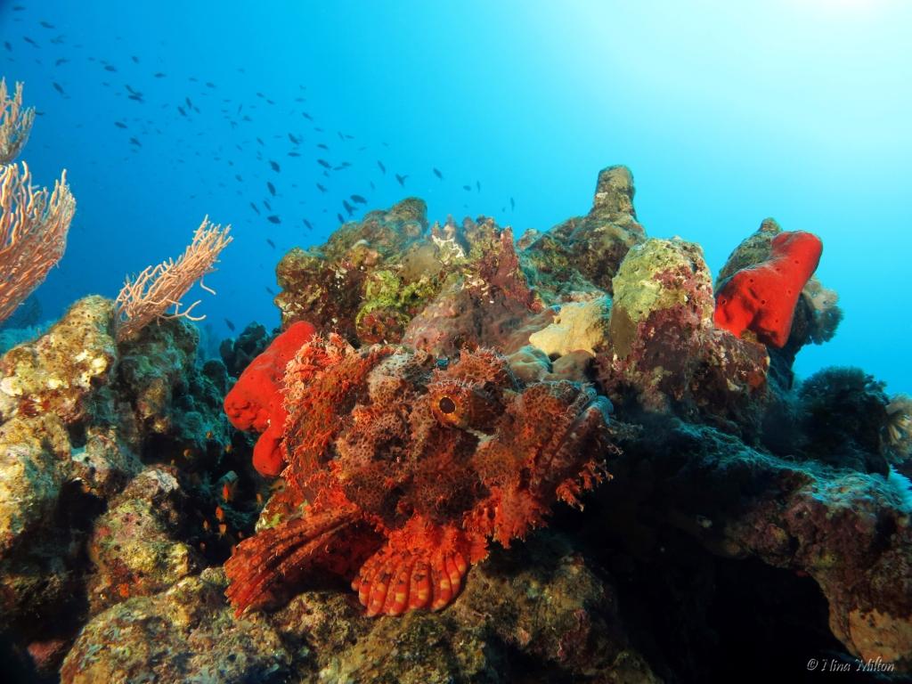 2_ahab_Coachhouse_Guesthouse_Sinai_Egypt_Scorpionfish.JPG