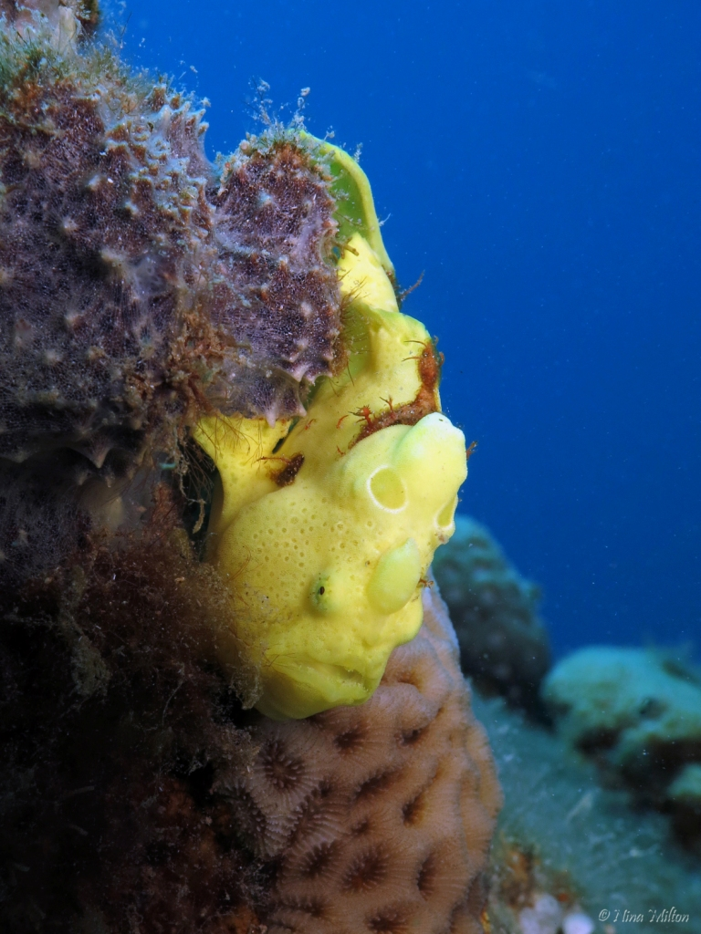 3_ahab_Coachhouse_Guesthouse_Sinai_Egypt_Frogfish.JPG