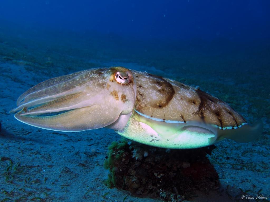 ahab_Coachhouse_Guesthouse_Sinai_Egypt_Cuttlefish.JPG