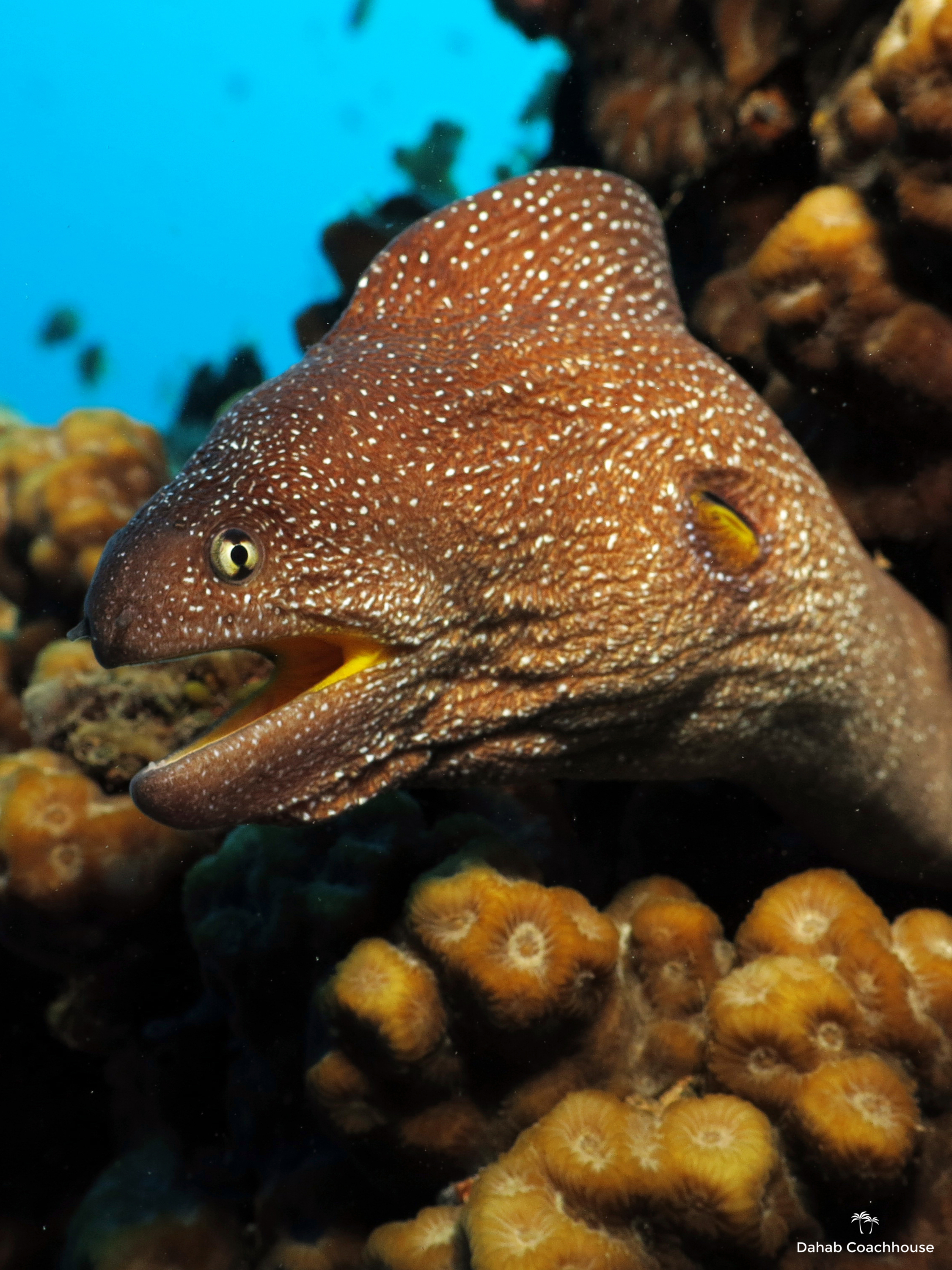 Dahab_Coachhouse_Egypt_Red_Sea_Diving_Beach_Accommodation_Holiday_Trave_Moray_Eel.JPG