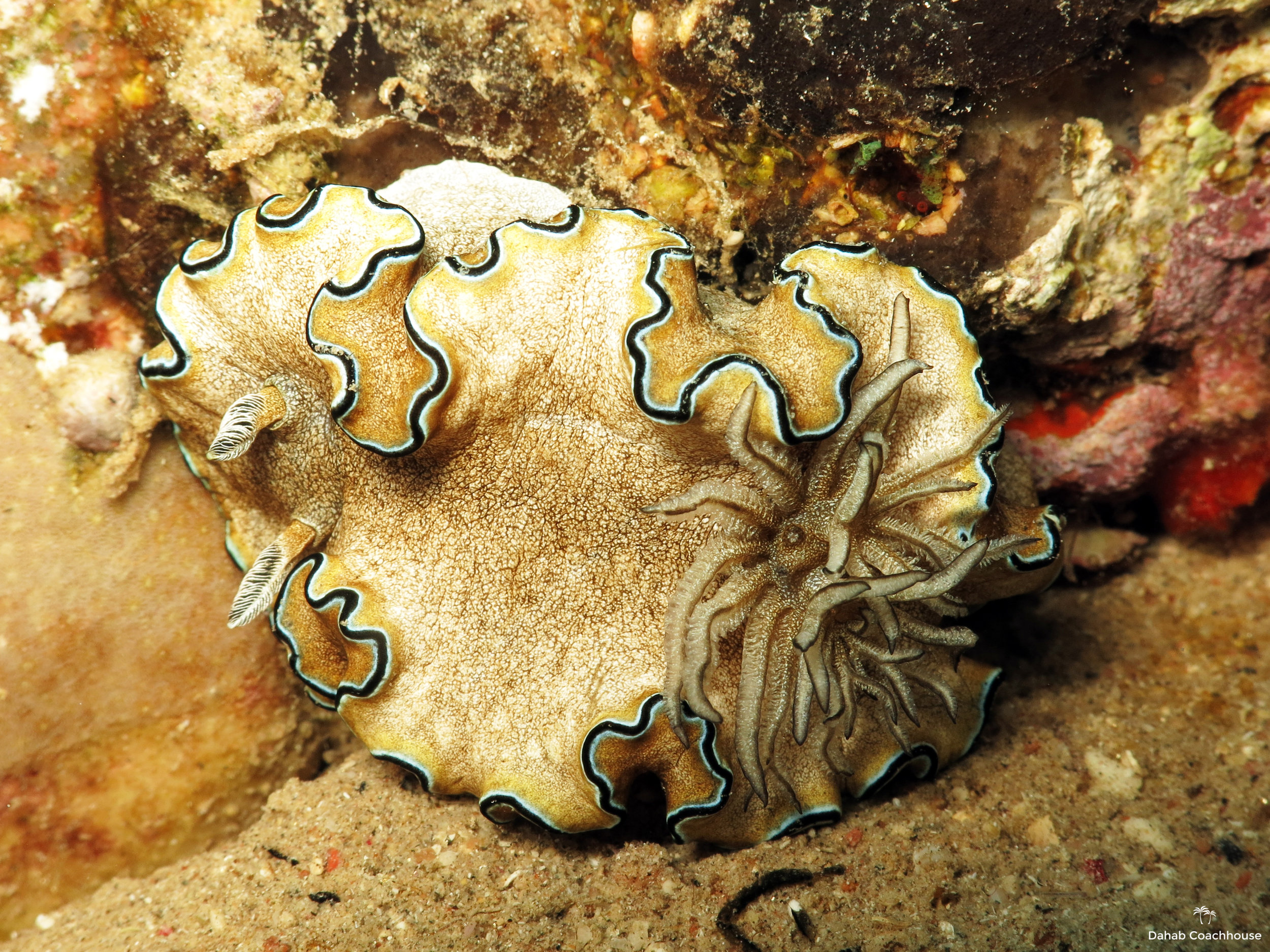 Dahab_Coachhouse_Egypt_Red_Sea_Diving_Beach_Accommodation_Holiday_Trave_Nudibranch.JPG