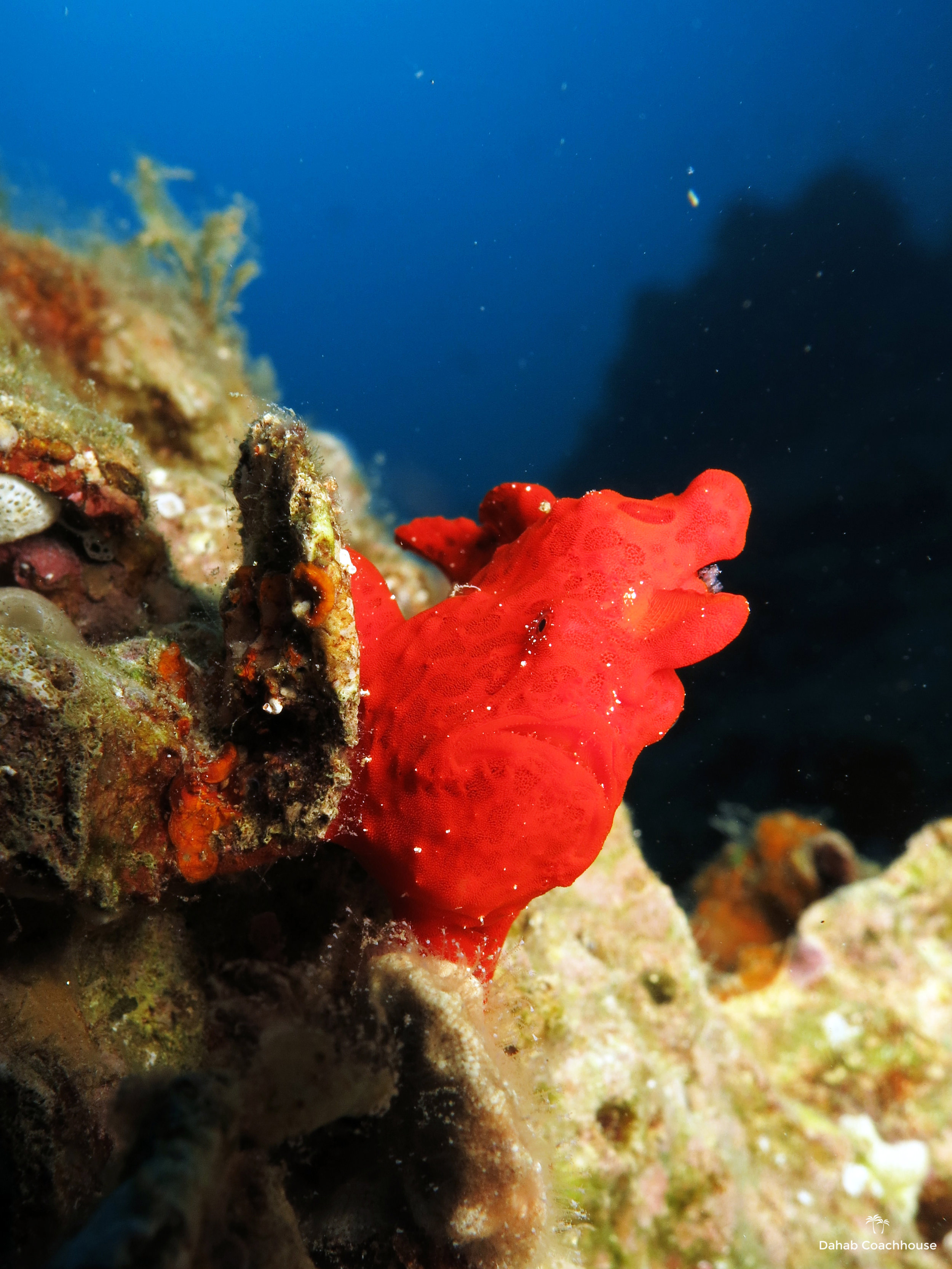 Dahab_Coachhouse_Egypt_Red_Sea_Diving_Beach_Accommodation_Holiday_Travel_Frogfish.JPG