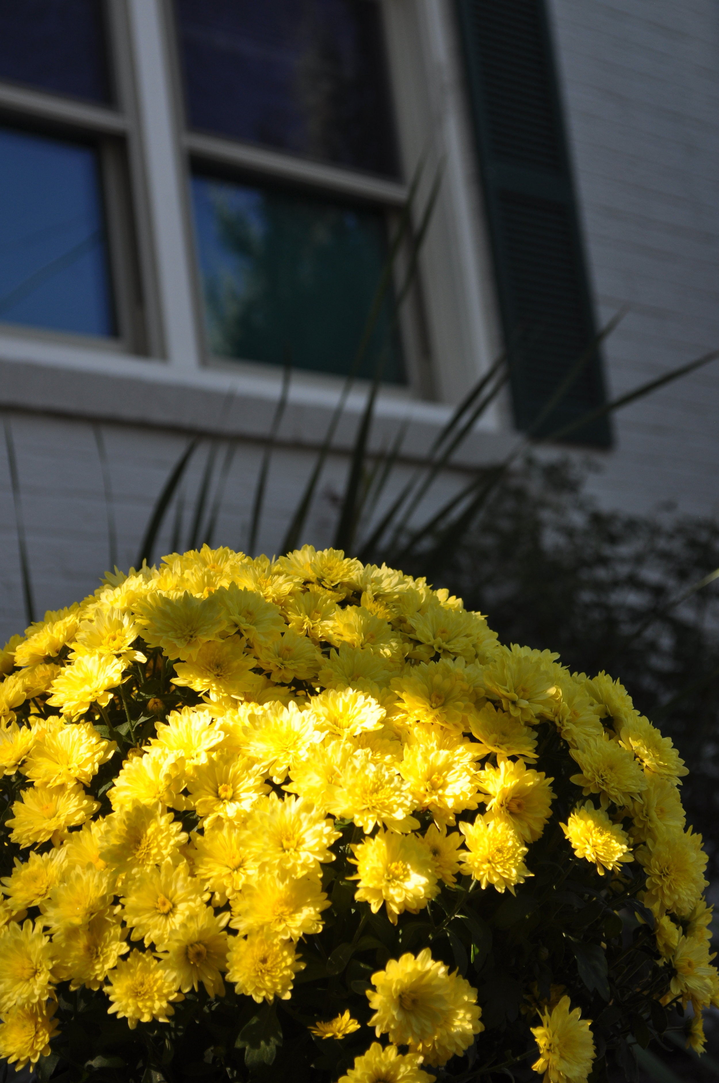 Yellow mum flowers as the main focus with a window on a white building with green shutters in the background.