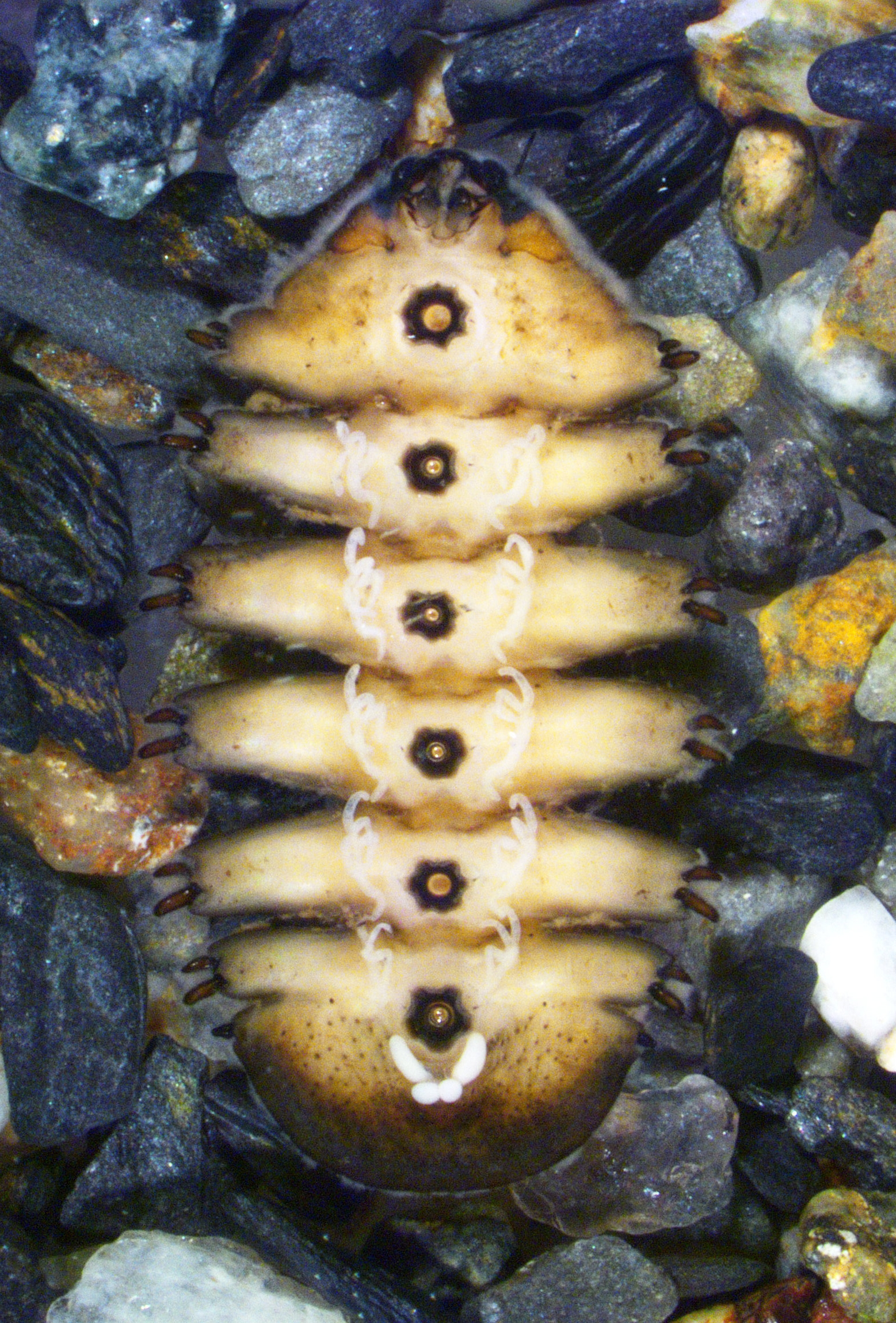 Larvae under microscope - photo by Alex Mykris