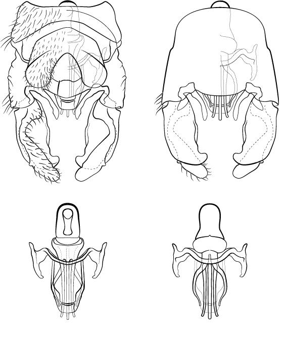 Elporia Genetalia.jpg