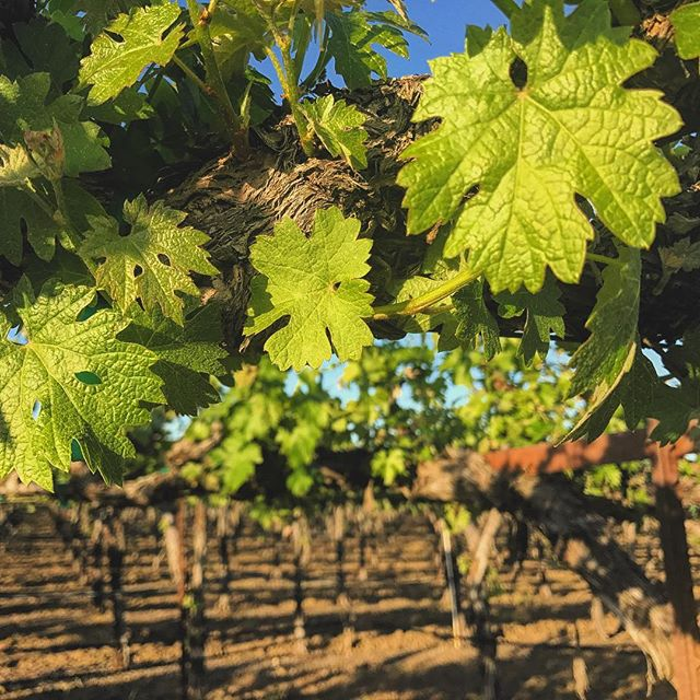 California boasts hundreds of varietals of grapes, but they all have one thing in common; they need the proper nutrients for the soil they grow in. Everyone wants healthy beautiful vines like this vineyard we serviced. We proudly diagnose nutrient programs free of charge with licensed PCA's based on geographic location. #agrimend #agrifarmgroup #myjobdependsonag #agriculture #vineyard