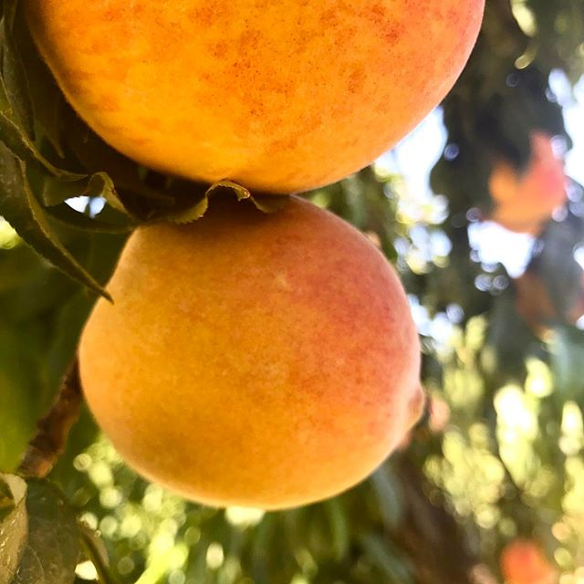 Think about this: every time you consume something you are either fueling or hurting your body. Organically grown fruit like these sweet peaches is what farm to table is all about. #agrimend #myjobdependsonag #agriculture #agrifarmgroup #millionsofpeaches