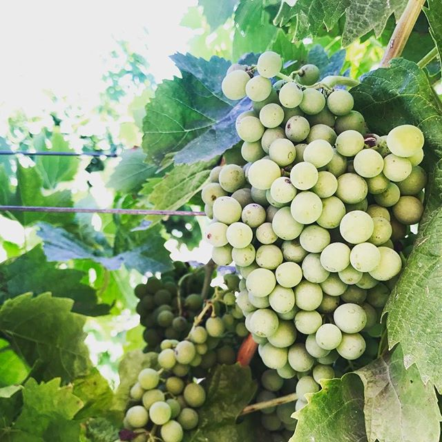 Hail damaged grapes on the road to recovery thanks to Nutrimine treatments. #agrifarmgroup #nutrimine #myjobdependsonag #agriculture #vineyard