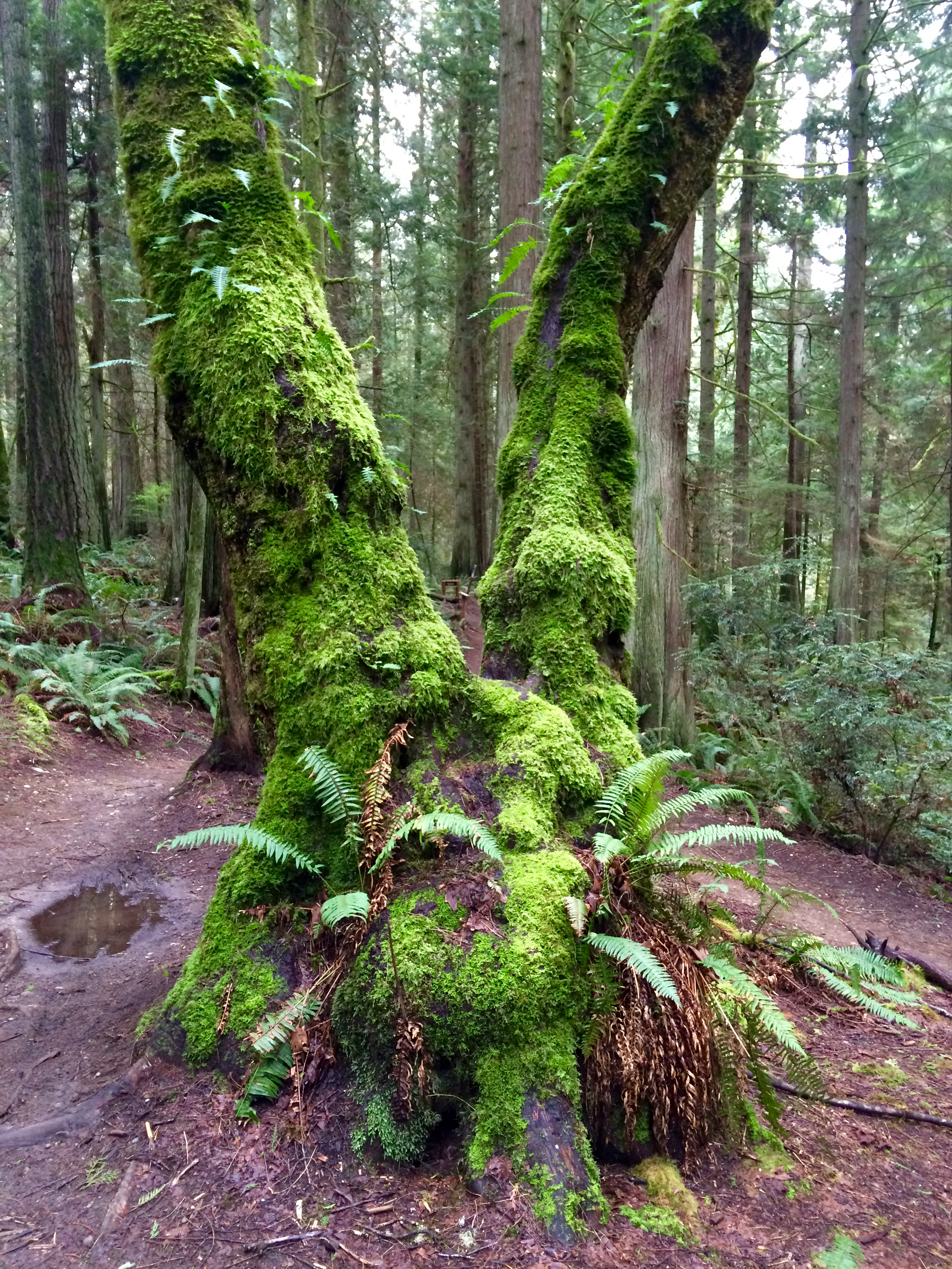 Fabulous moss-covered tree in the Grand Forest
