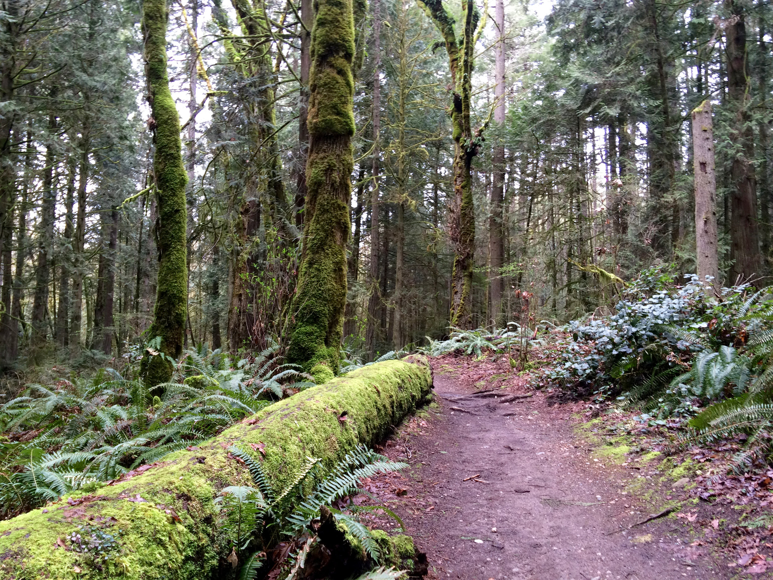 Moss covered nurse log defines Grand Forest path
