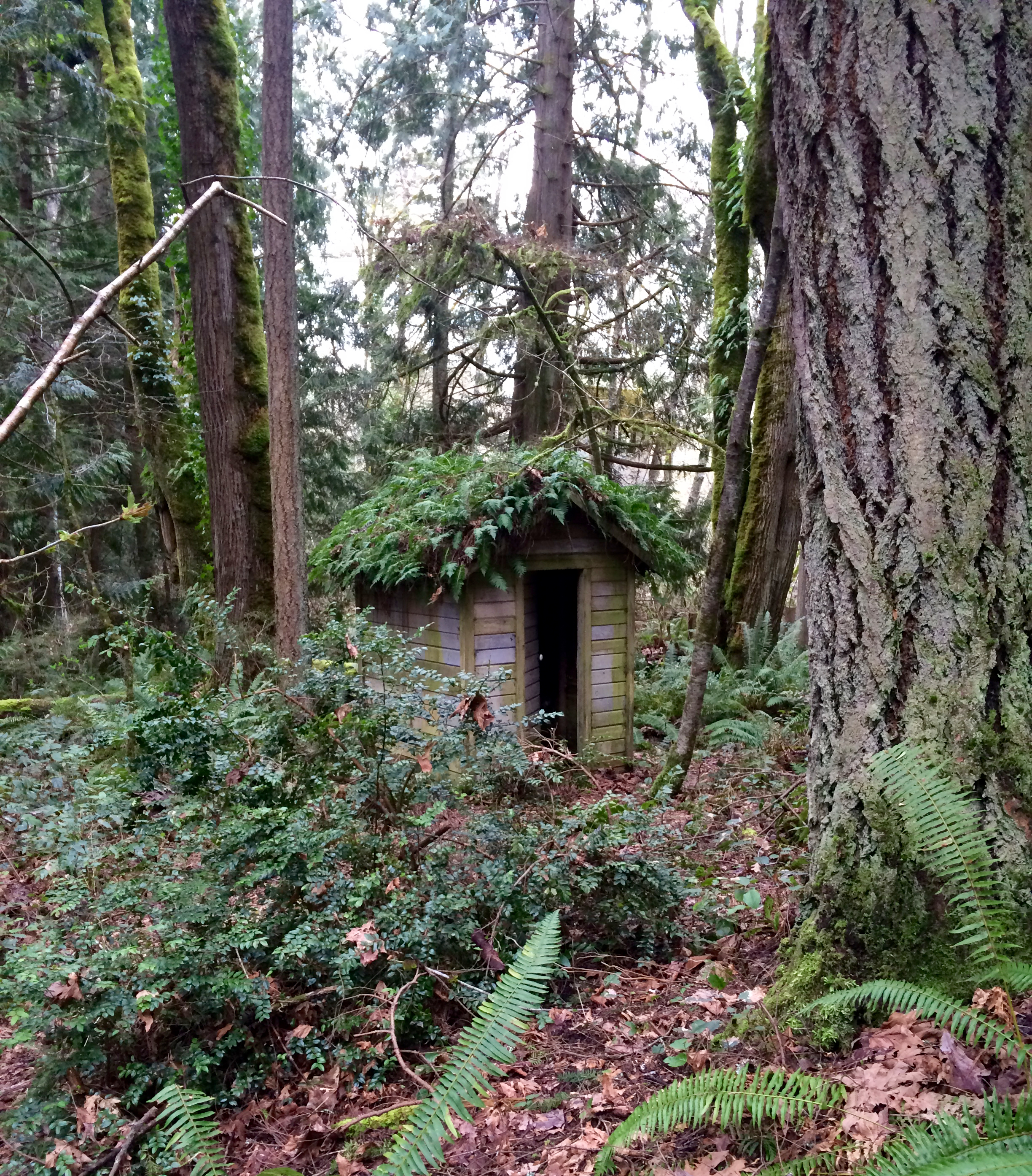 Fern covered outhouse in the Grand Forest