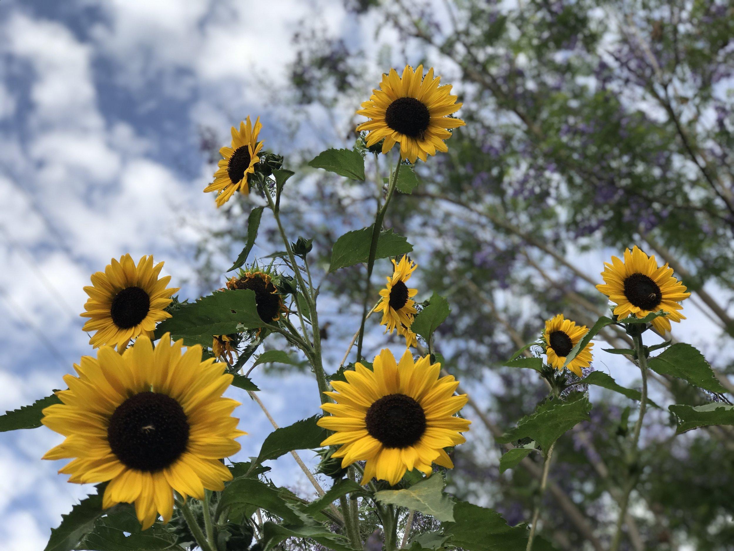 Sunflowers in Studio City
