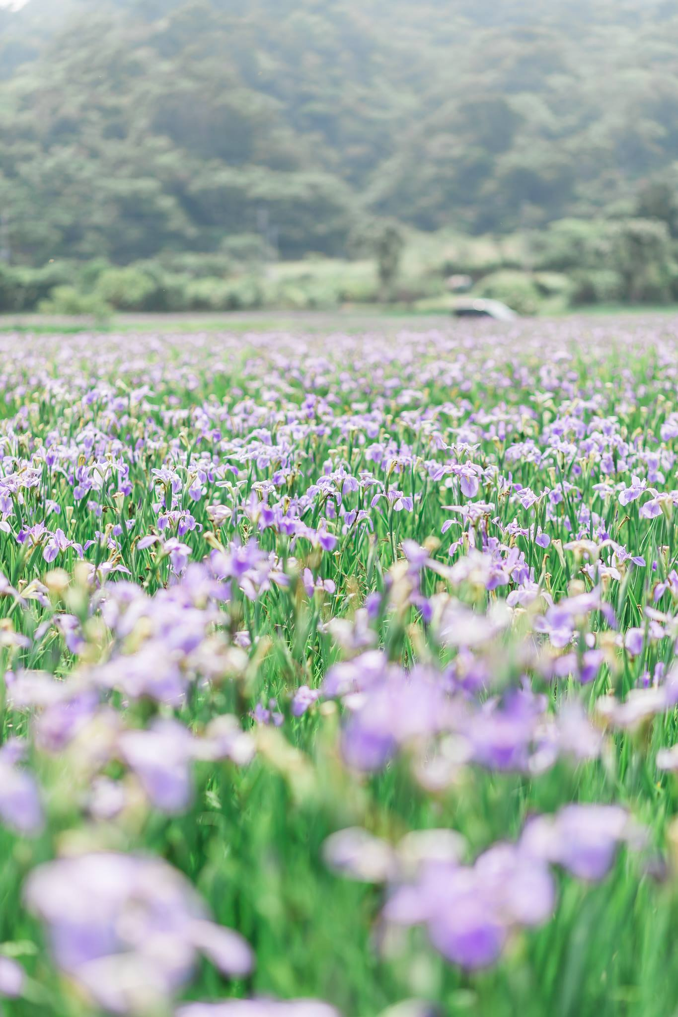 Okinawa iris field mommy and me2.jpg