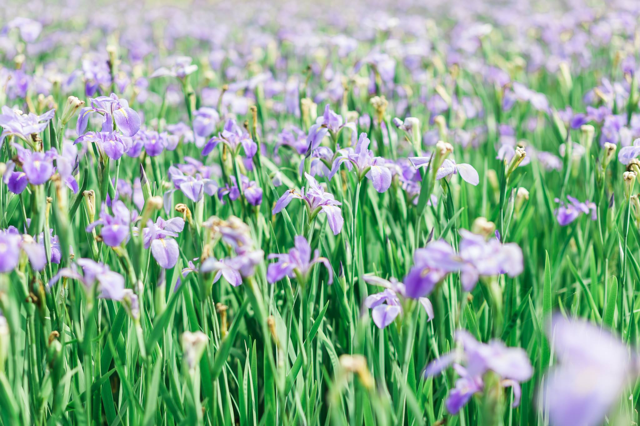 Okinawa iris field mommy and me6.jpg