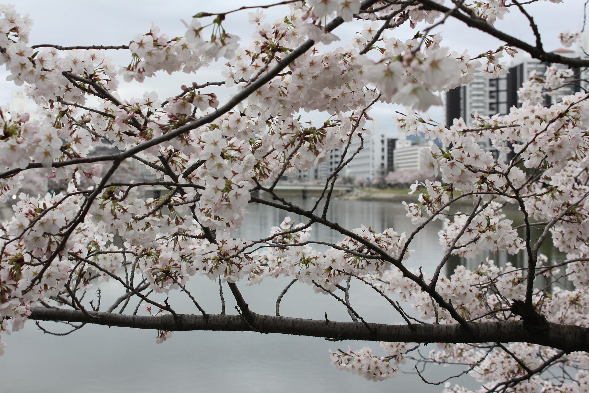 cherry-blossom-city.jpg