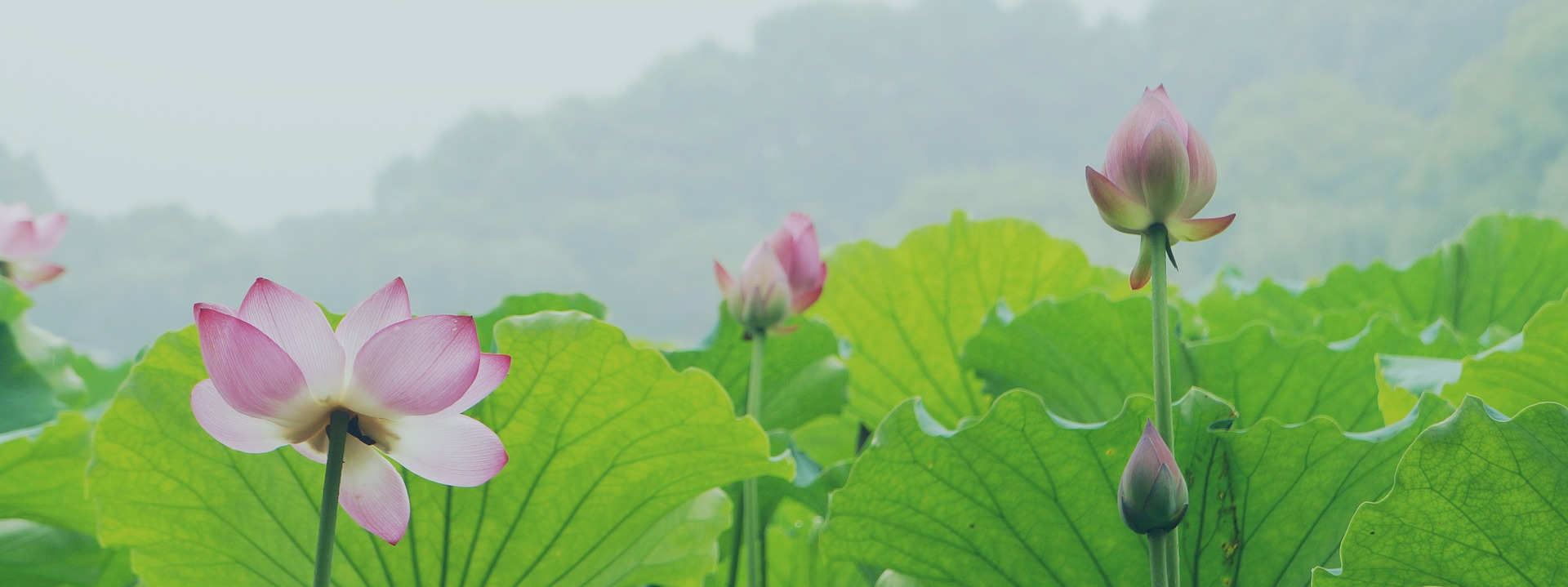 lotus-flower-lake.jpg