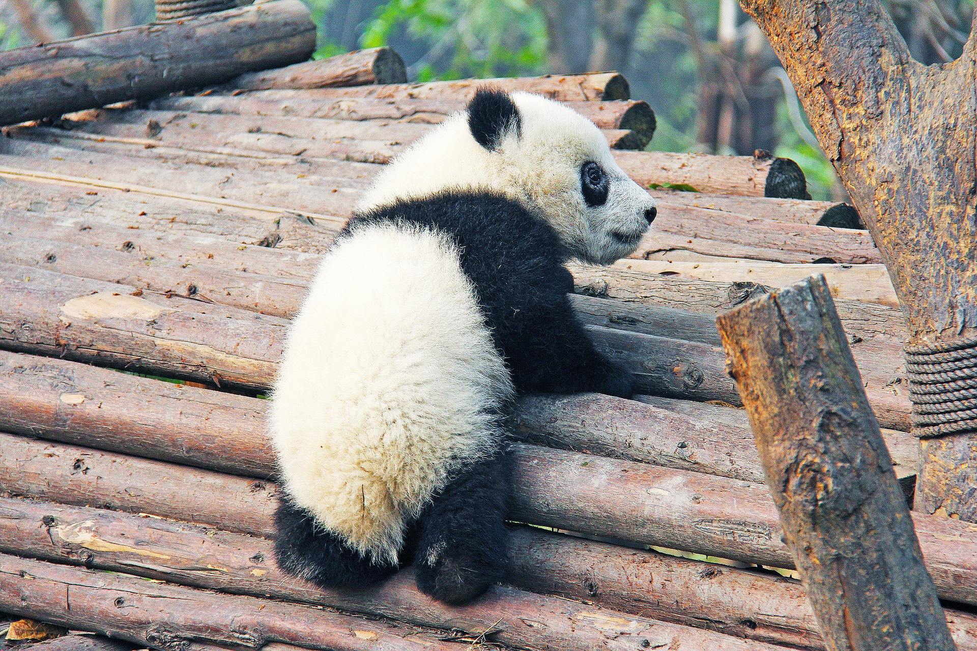 panda-baby.jpg